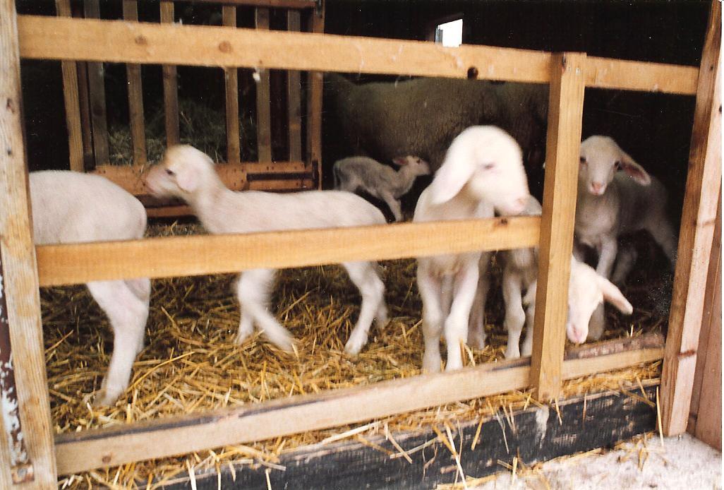 Foto per appassionati di pecore - La pagina della colorazione delle pecore smarrite ...